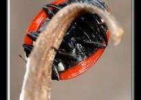Coccinella-Septempunctata-206x300.jpg