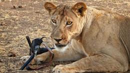 photographe_appareil_canon_attaque_lion_1.jpg