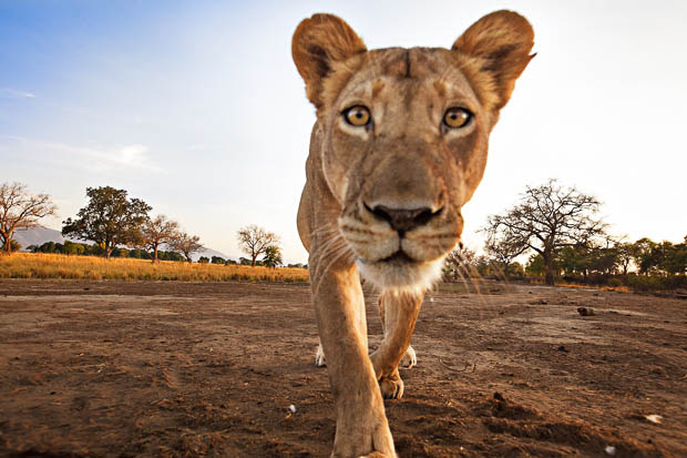 Ed Hetherington Canon 5D Mark II Lion