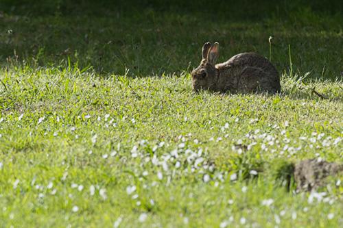 Photographie d'un lapin de garenne - (C) Guillaume Warnet