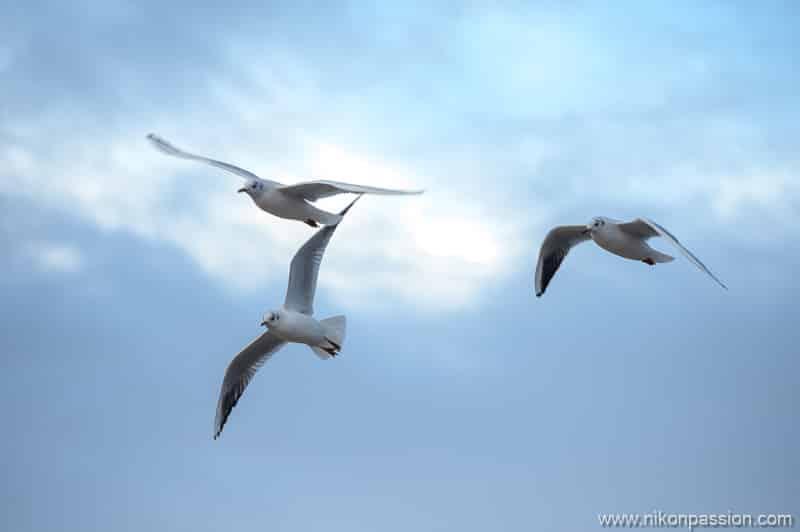 Nikon hybride photo oiseaux autofocus
