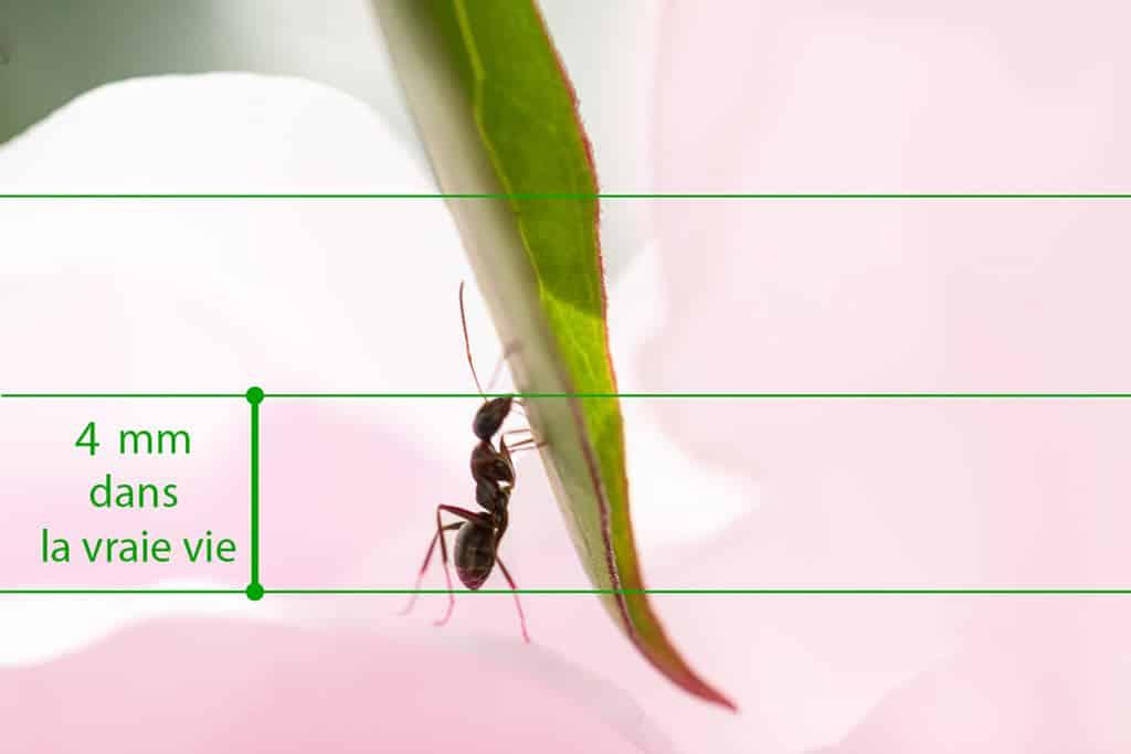 Macrophotographie, Zou la fourmi (f/9 à 1/250 s – 105 mm macro+ bagues) photo (C) J. Croizer
